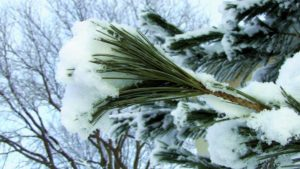 Snow on a Pine branch | Omaha Dentistry